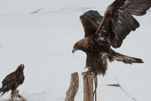 Golden Eagles Used For Hunting