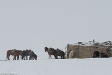 Tethered Horses In Snow Storm