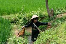 Dai, Fishing, Fishing Net, Paddy, Son La, Vietnam
