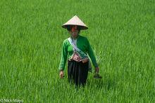 Dai, Dien Bien, Paddy, Vietnam