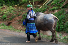 Blue Hmong With Her Buffalo