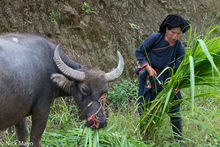 Fodder, Ha Giang,  Vietnam, Water Buffalo, Yao