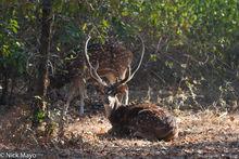 Deer, India, Madhya Pradesh