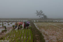 Early Morning Rice Planting
