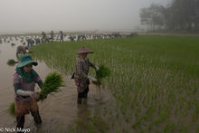 Planting Rice On A Misty Morning