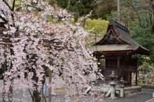 Sakura & Shrine At Kiyomizu-dera