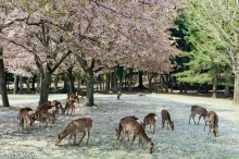 Deer Enjoying Fallen Sakura Blossom