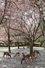Deer Under The Sakura