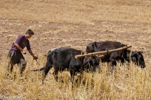Ploughing With Bullocks In Nujiang