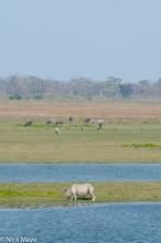 Assam,Buffalo,India,Rhino