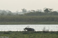 Assam,Buffalo,India