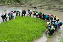 Lao Cai,Miao,Paddy,Transplanting,Vietnam