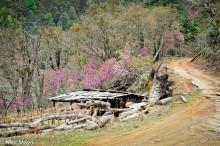 Wooden Pen & Trees In Blossom