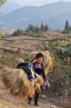 China,Guizhou,Hair,Miao,Paddy,Shoulder Pole