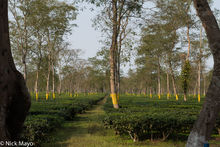Assam, India, Tea Field