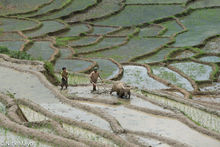 Preparing The Rice Field For Planting