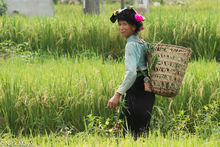 Thai Woman In A Rice Field