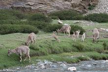 Deer In Changtang Valley