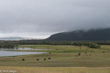 Cattle, Khovsgol, Mongolia