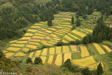Terraced Valley Of Ripe Rice