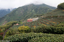 Central Mountains, Taiwan, Tea Field