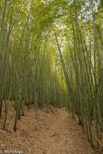 Bamboo, Central Mountains, Taiwan