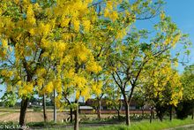 Blooming Indian Laburnum Trees