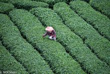 Central Mountains, Harvesting, Taiwan, Tea Field