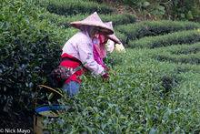 Harvesting, North, Taiwan, Tea Field