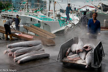 Unloading The Shark Catch