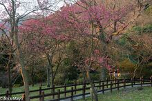 Cherry Trees In Afternoon Light