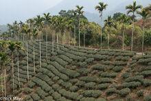 Tea Field & Betel Trees