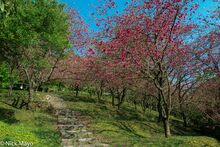 Cherry Trees Besides The Steps