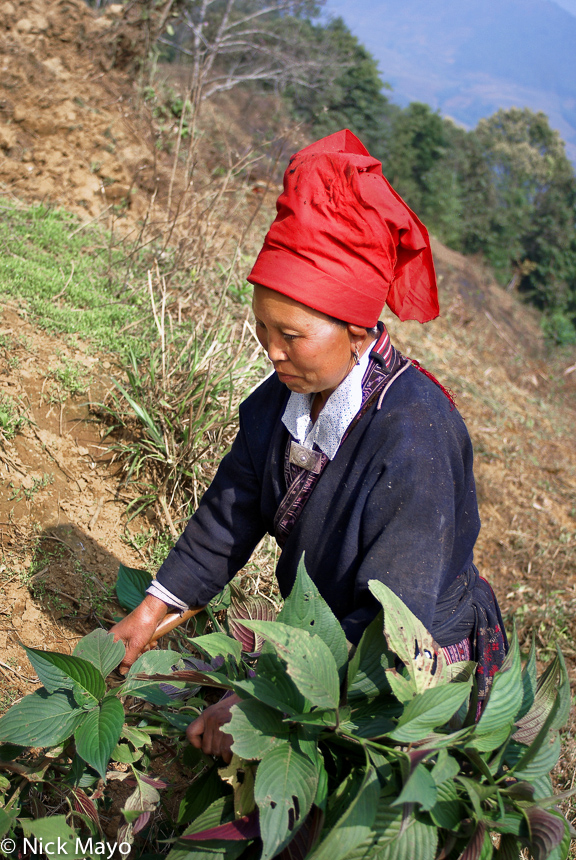 China,Harvesting,Hat,Yao,Yunnan, photo