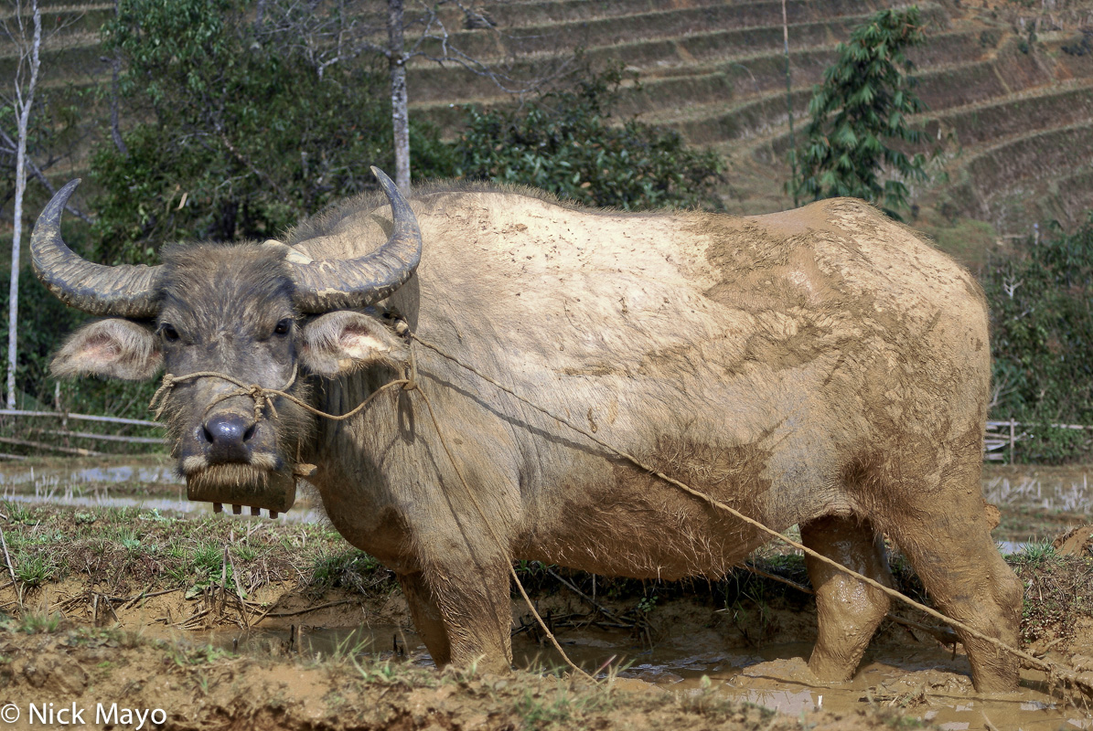 China,Water Buffalo,Yunnan, photo