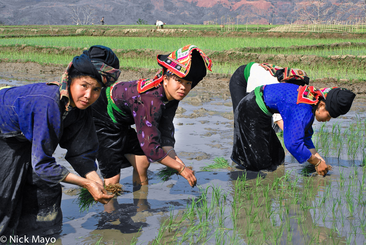 Dai,Headdress,Paddy,Planting,Son La,Vietnam, photo