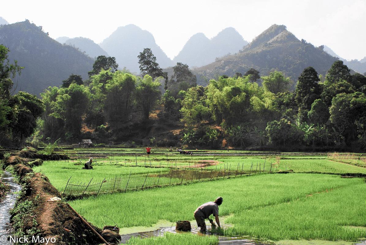 Paddy,Son La,Transplanting,Vietnam, photo