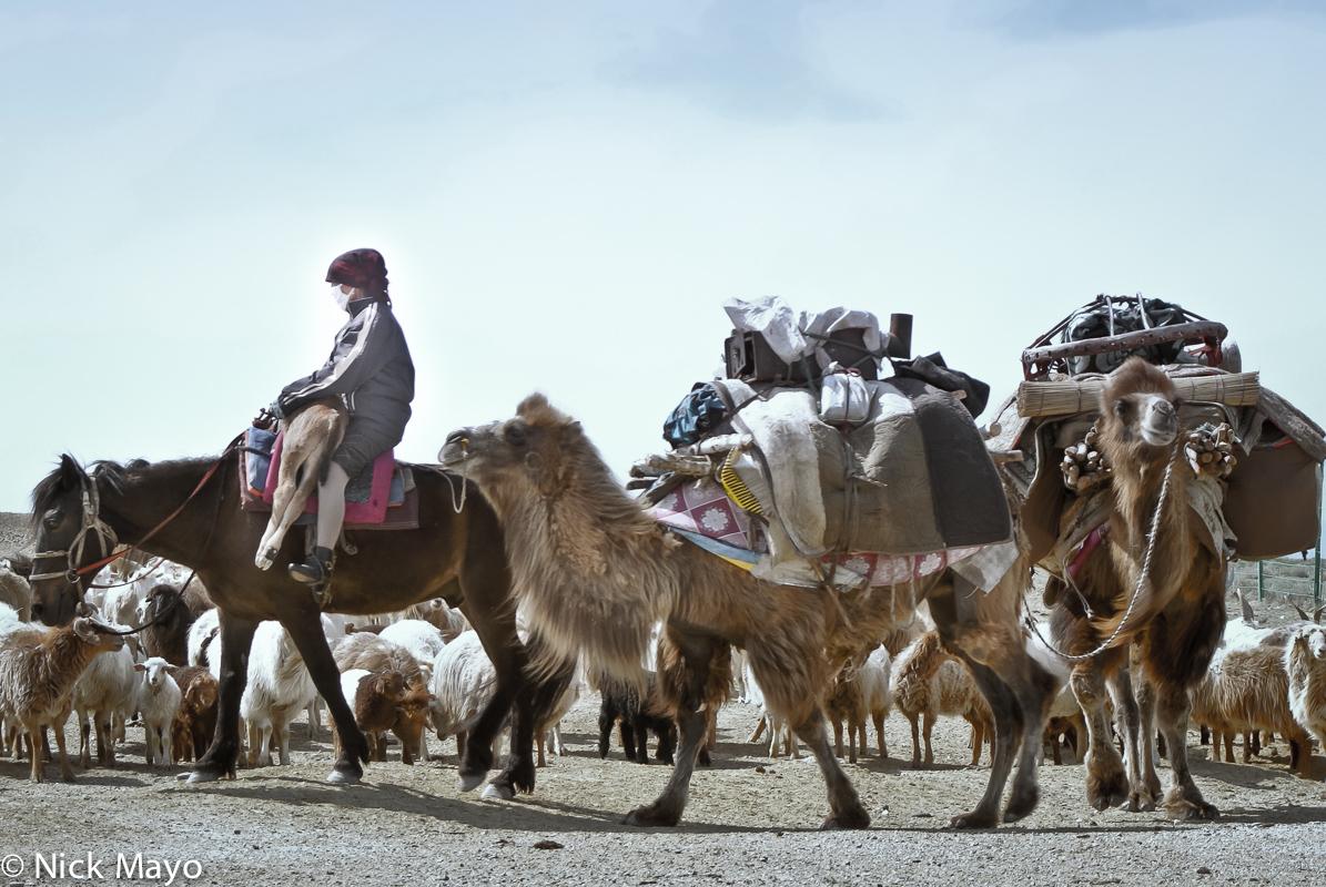 Camel,China,Horse,Kazakh,Pack Animal,Sheep,Xinjiang, photo