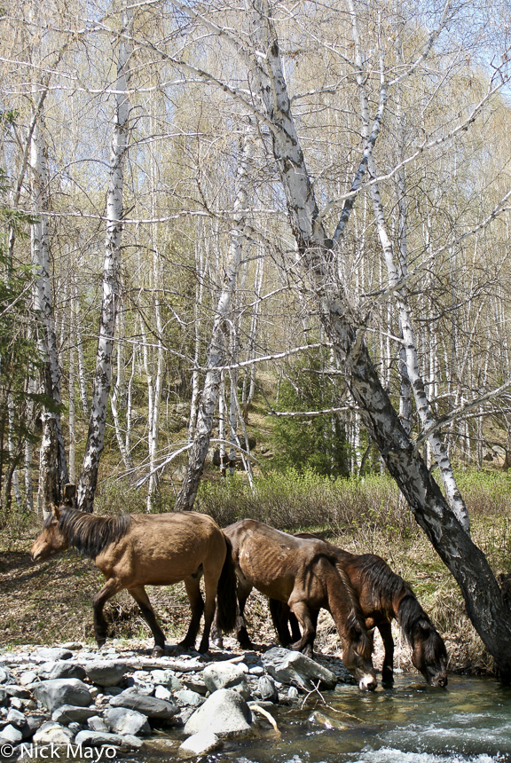 Wild horses drinking from a stream in a silver birch forest in the Hemu valley.