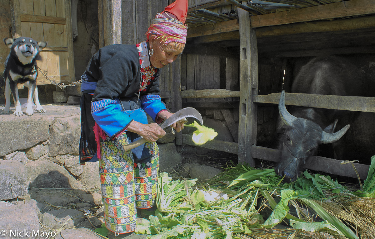 A Ping An Jie Hongte Yao woman wearing a traditional peaked hat feeding fodder to a water buffalo under the protective eyes of...