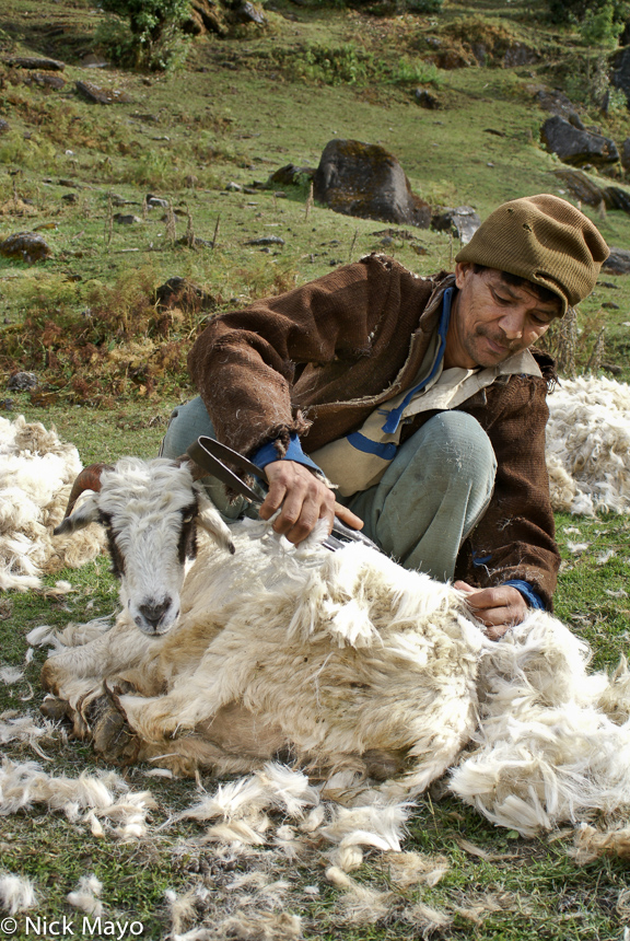A shepherd shearing a sheep in a pasture in the Ram Ganga valley.