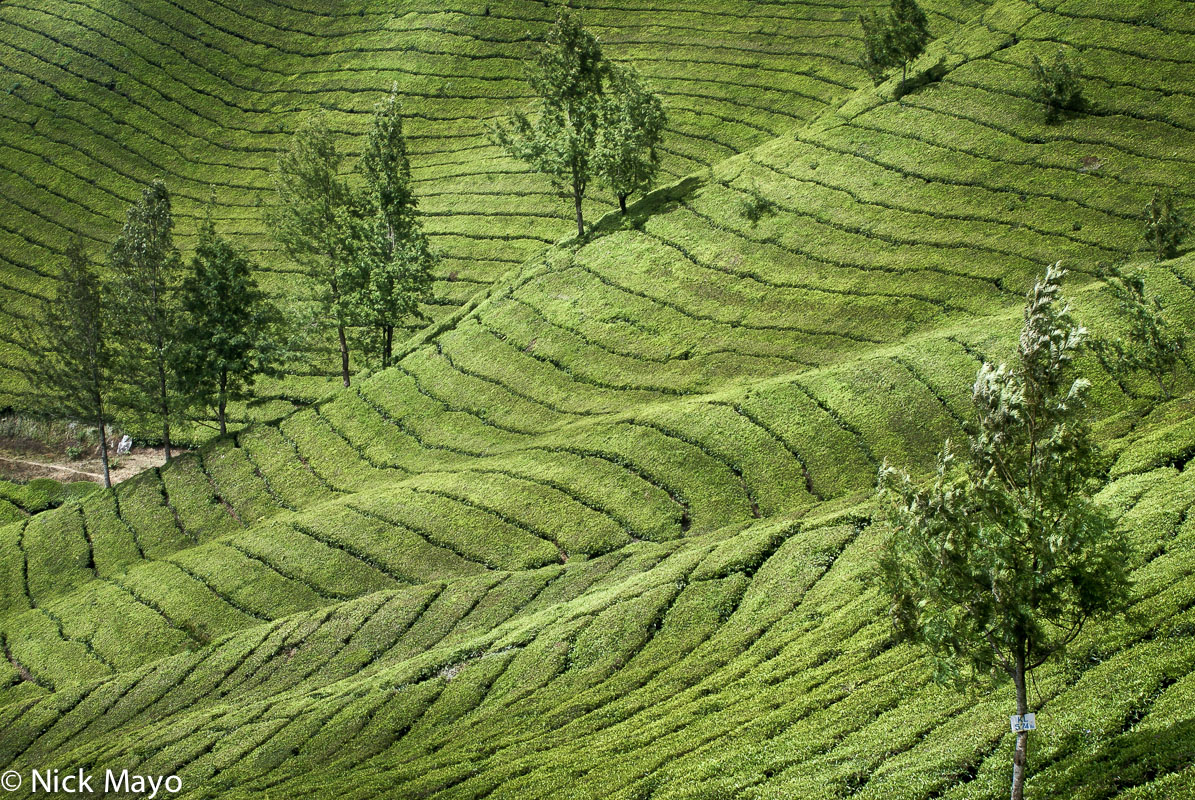 India,Kerala,Tea Field, photo