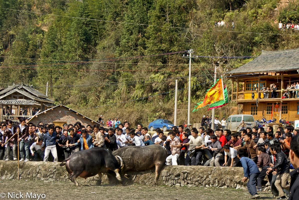 Bullfight,China,Dong,Guizhou, photo