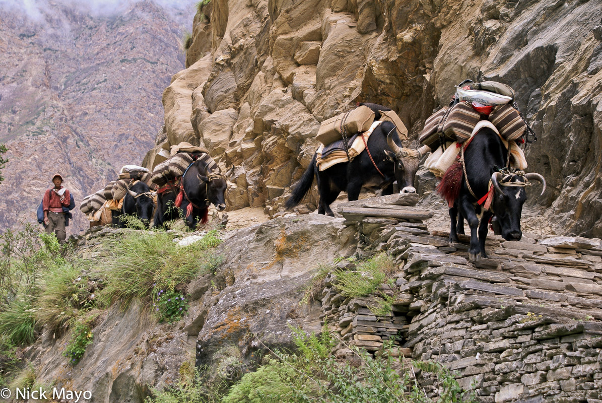 Dolpo,Dolpo-pa,Nepal,Pack Animal,Yak, photo