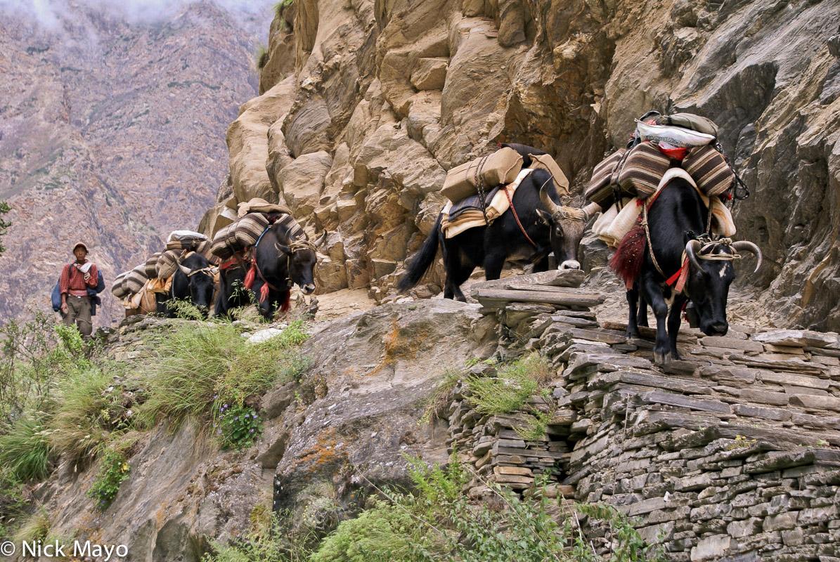 A yak caravan being driven by a Dolpo-pa near Sishul Khola.