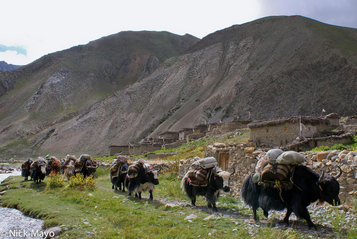 Dolpo,Nepal,Pack Animal,Yak, photo