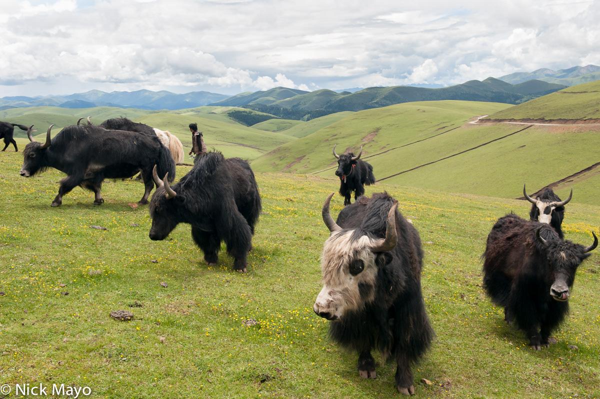 China,Herding,Sichuan,Yak, photo