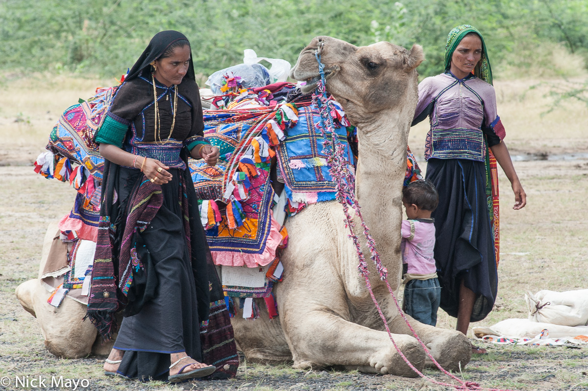 Camel,Gujarat,Head Scarf,India,Pack Animal,Rabari, photo