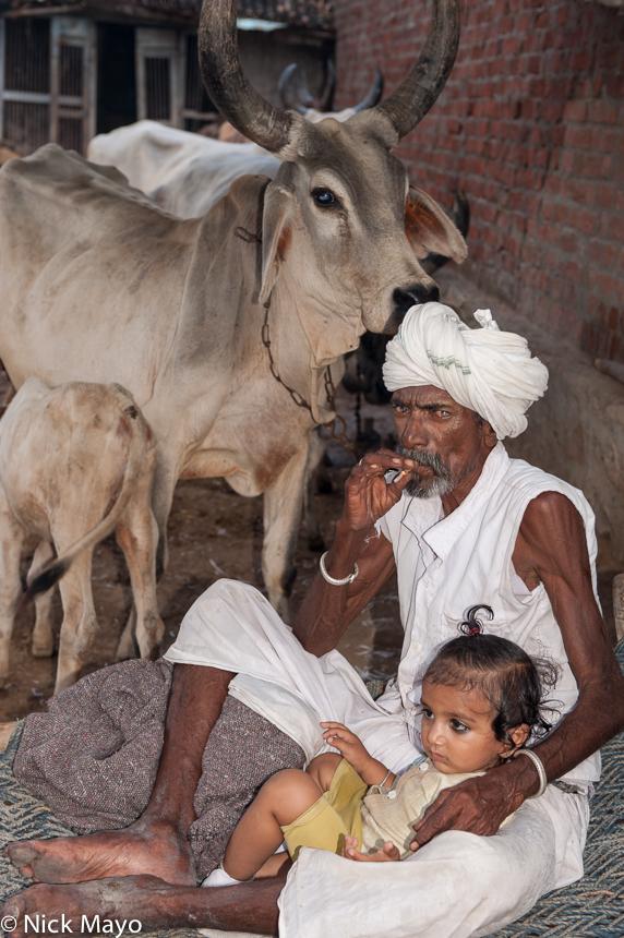 Cow,Gujarat,India,Rabari,Smoking, photo