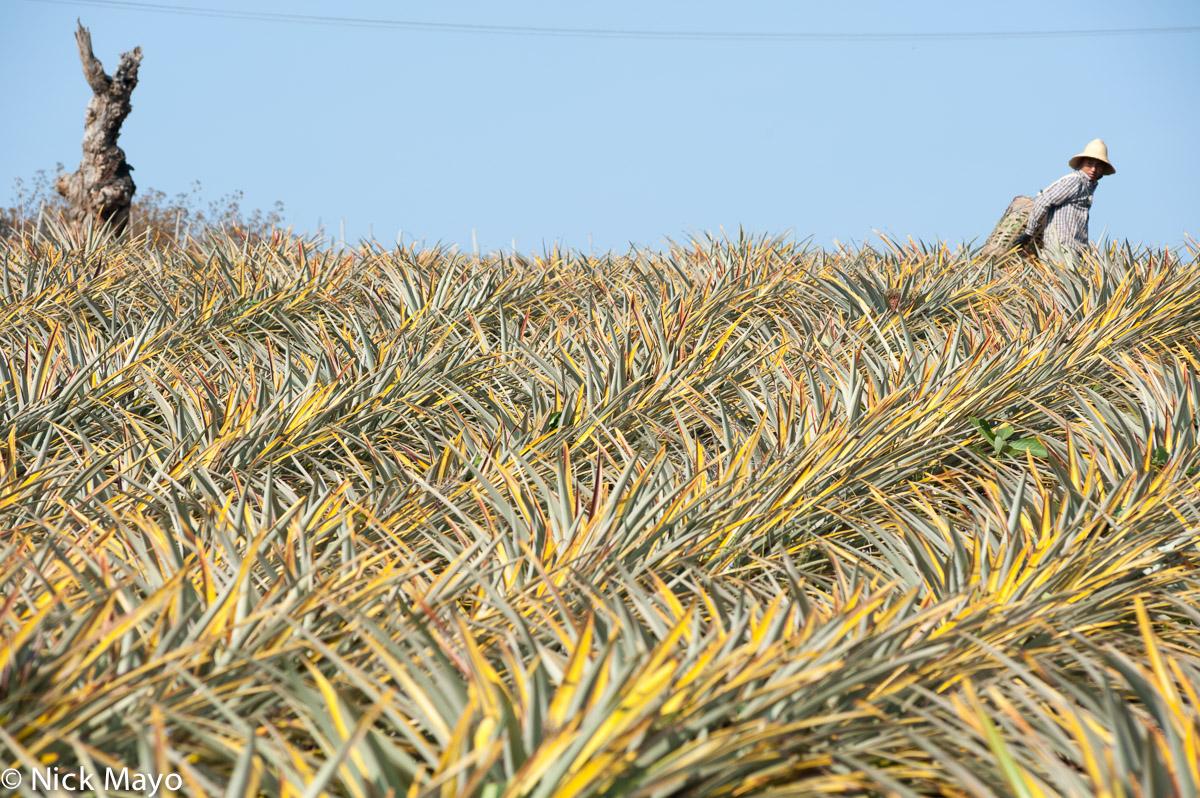 Burma,Pineapple,Shan State, photo